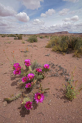 Photograph - Blooming Prickley Pear by Tom Daniel