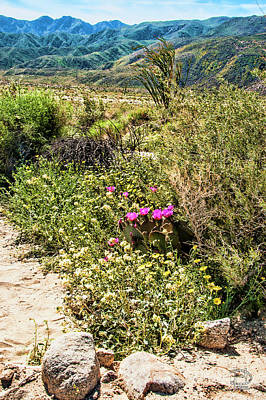 Photograph - Blooming Prickly Pair In Desert Daisy Garden  by Daniel Hebard
