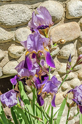 Photograph - Blooming Purple Iris by Sue Smith