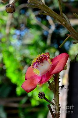 Photograph - Blooming Red Flower Of Cannonball Tree by Imran Ahmed