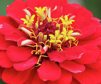 A Blooming Red Flower Art Print
