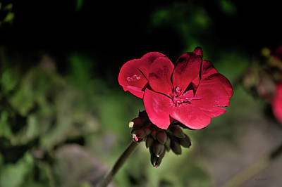 Photograph - Blooming Red Geranium by Donna Lee