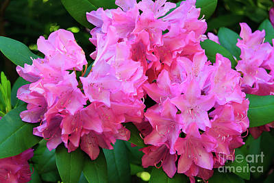 Photograph - Blooming Rhododendron by Jill Lang