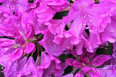 Blooming Rhododendron Art Print