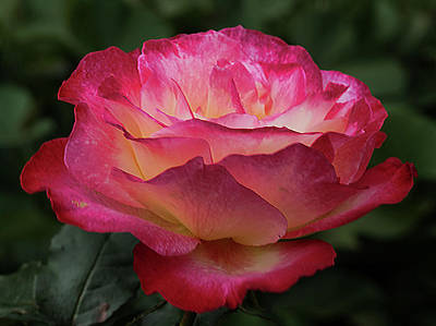 Photograph - Blooming Rose by Pamela Walton