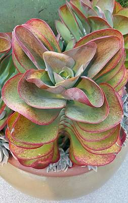 Photograph - Blooming Succulent by Ian Kowalski