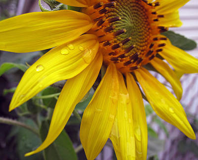 Photograph - Blooming Sunflower by Barbara McDevitt