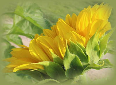 Photograph - Blooming Sunflower  by Dora Sofia Caputo Photographic Design and Fine Art