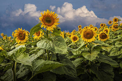 Photograph - Blooming Sunflowers Against A Cloudy Blue Sky by Randall Nyhof