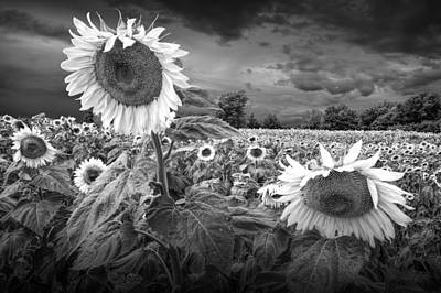 Yellow And Orange Sunflower Photograph - Blooming Sunflowers In Black And White by Randall Nyhof