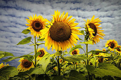 Photograph - Blooming Sunflowers by Randall Nyhof