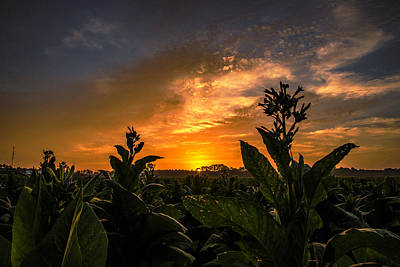 Photograph - Blooming Tobacco by John Harding