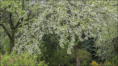 Photograph - Blooming Trees by Vladimir Kholostykh