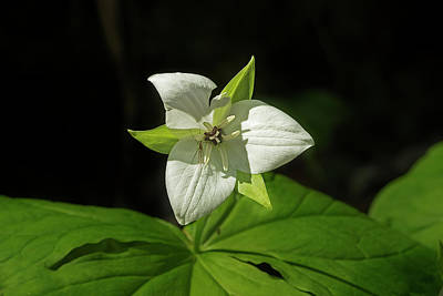 Photograph - Blooming Trillium by Mike Eingle