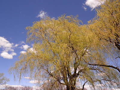 Photograph - Blooming Weeping Willow by Kate Gallagher