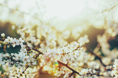 Photograph - Blooming White Flowers On A Cherry Tree In Sunset. by Michal Bednarek