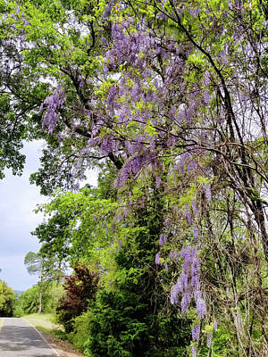 Photograph - Blooming Wisteria by Kathleen Bishop