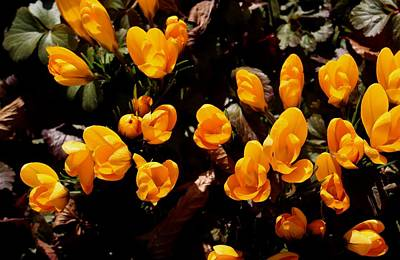 Photograph - Blooming Yellow Crocus by Botanical Collection