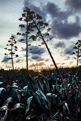 Photograph - Blooming's Agaves by Alfio Finocchiaro