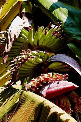 Photograph - Blooming Banana Tree 05 by Dora Hathazi Mendes