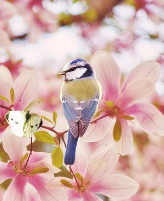 Blue Tit Photograph - Blossom Buddies by Sharon Lisa Clarke