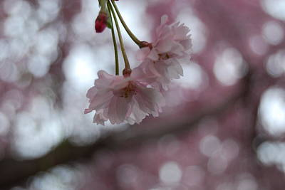 Blossom In Pink Art Print by Peter  McIntosh