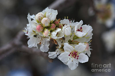 Photograph - Blossom Is Her New Life  by Joy Watson