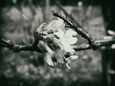 Photograph - Blossom by Karen Stahlros