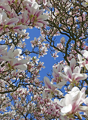 Blossom Magnolia White Spring Flowers Photography Art Print by Artecco Fine Art Photography