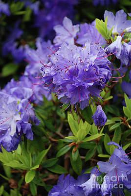 Photograph - Blossom by Richard Gibb