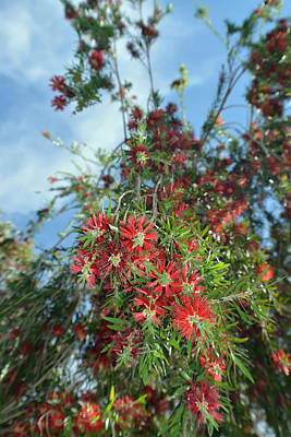 Tree Photograph - Blossoming Bottlebrush by Aimee L Maher Photography and Art Visit ALMGallerydotcom