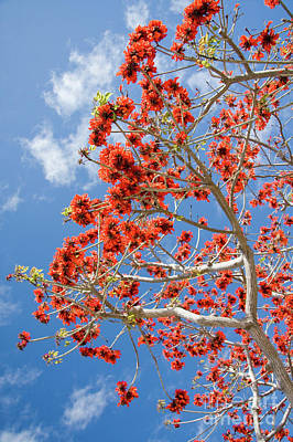 Blossoming Coral Tree Print by Julia Hiebaum