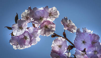 Photograph - Blossoming by Joann Long