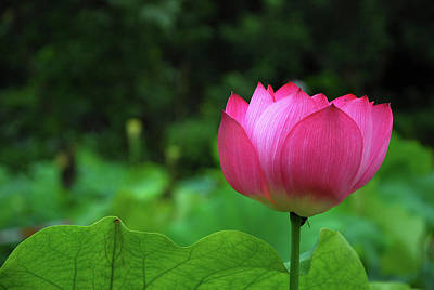 Photograph - Blossoming Lotus Flower Closeuop by Carl Ning
