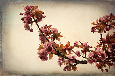 Photograph - Blossoming Sakura by Marilyn Wilson