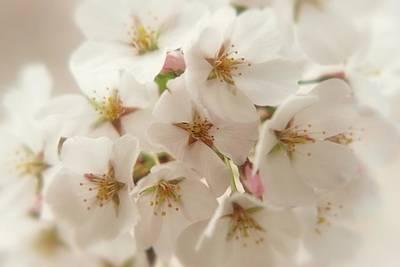 Photograph - Blossoming Softness by Angie Tirado