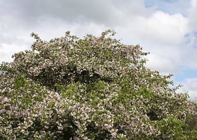 Photograph - Blossoming Tree by Michelle Miron-Rebbe