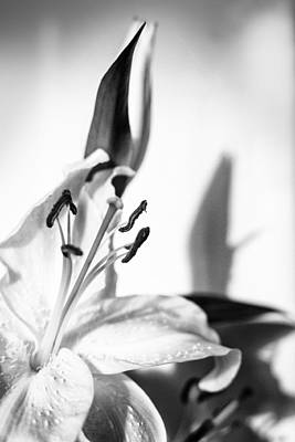 Photograph - Blossoming White Lilly Flower And Shadow In Monochrome by John Williams