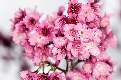 Photograph - Blossoms 3 by Steven Hendricks