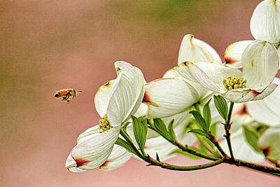 Dogwood Lake Photograph - Blossoms And Bee by Geraldine Scull