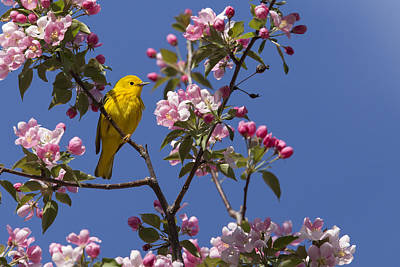 Yellow Warbler Photograph - Blossoms And Warbler by Mircea Costina Photography