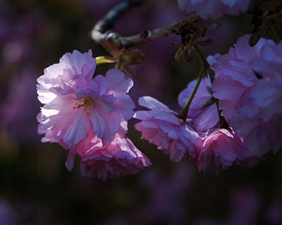 Photograph - Blossoms by Barry Doherty