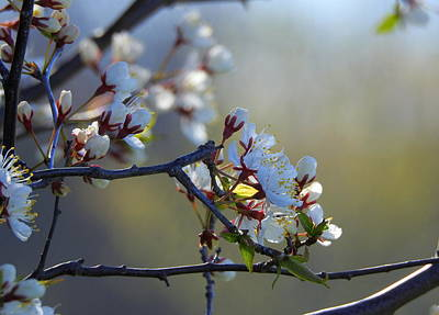 Photograph - Blossoms by Betty-Anne McDonald