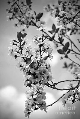 Blossoms In Black And White Art Print by Sue Stefanowicz