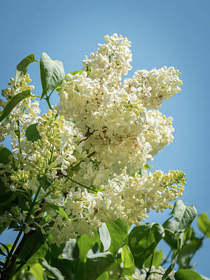Kitchen Mark Rogan - Blossoms of a flowering white lilac in front of a blue sky by Stefan Rotter