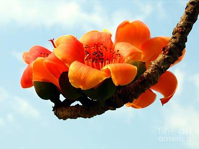 Blossoms Of The Red Silk Cotton Tree Art Print