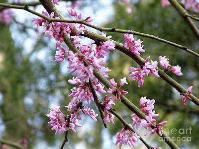 Photograph - Blossoms Of The Redbud Tree by D Hackett