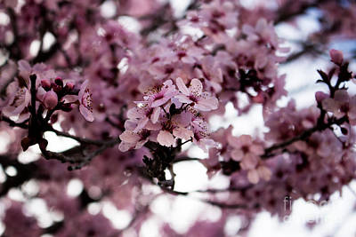 Photograph - Blossoms by Serena Ballard