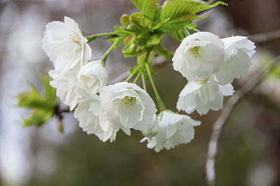 Photograph - Blossoms White by Marilyn Wilson