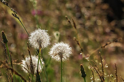 Photograph - Blow Away Dandelion by Belinda Greb